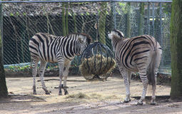 Chapman`s zebra Royalty Free Stock Photos