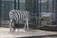 Chapman`s zebra Royalty Free Stock Photo