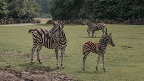 Free Chapman`s Zebra, Equus Quagga Chapmani, Plains Zebra With Pattern Of Black And White Stripes. Zebra With Baby Graze In The Meadow Stock Photography - 156694132