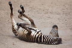 Chapman`s zebra Equus quagga chapmani. Chapman`s zebra Equus quagga chapmani rolling in the dust Royalty Free Stock Photo