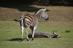 Chapman's zebra (Equus quagga chapmani). Royalty Free Stock Photos