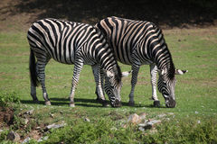 Chapman's zebra (Equus quagga chapmani). Stock Photo