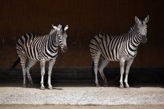 Chapman's zebra (Equus quagga chapmani). Royalty Free Stock Image