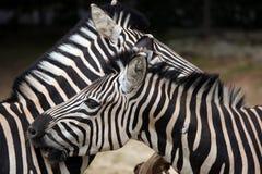 Chapman's zebra (Equus quagga chapmani). Stock Photos