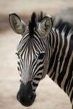 Chapman's zebra (Equus quagga chapmani). Stock Image