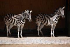 Chapman's zebra (Equus quagga chapmani). Stock Photography