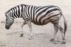 Chapman& x27;s zebra & x28;Equus quagga chapmani& x29;. Chapman& x27;s zebra & x28;Equus quagga chapmani& x29 Stock Images