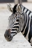 Chapman's zebra - a portrait Royalty Free Stock Photography