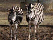 Chapman`s zebra Stock Photography