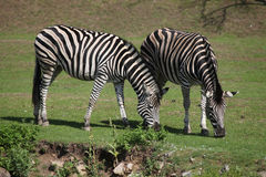 Chapman's zebra (Equus quagga chapmani). Royalty Free Stock Photo