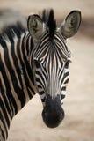 Chapman's zebra (Equus quagga chapmani). Royalty Free Stock Images