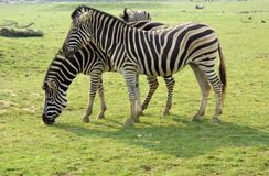 Chapman Zebra. A Pair of Chapmans Zebra stock photography