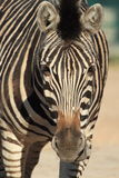 Chapman zebra Stock Images