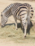 Chapman Zebra eating grass, Equus Burchelli Chapmani Stock Images