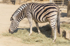 Chapman Zebra eating grass, Equus Burchelli Chapmani Royalty Free Stock Photography