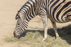 Chapman Zebra eating grass, Equus Burchelli Chapmani Stock Photography
