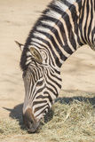 Chapman Zebra eating grass, Equus Burchelli Chapmani Royalty Free Stock Image