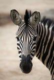 Chapman zebra (Equus kwaga chapmani) Zdjęcie Stock