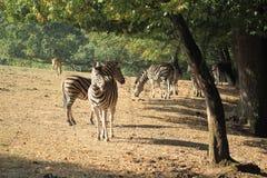 Chapman zebra Stock Photography