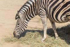 Chapman Zebra mangeant l'herbe, Equus Burchelli Chapmani Photographie stock