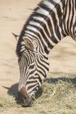 Chapman Zebra mangeant l'herbe, Equus Burchelli Chapmani Image libre de droits