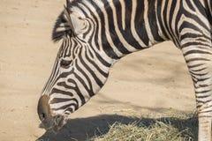 Chapman Zebra mangeant l'herbe, Equus Burchelli Chapmani Photographie stock libre de droits