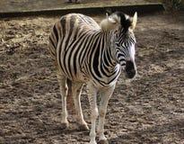 Chapman zebra Royalty Free Stock Photos