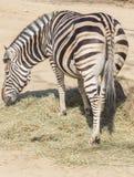 Chapman Zebra som äter gräs, Equus Burchelli Chapmani arkivbilder