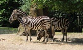 Chapman zebras Stock Foto's