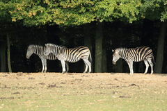 Chapman zebras Stock Image