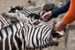 Chapmani de quagga d'Equus de zèbre du ` s de Chapman Image stock