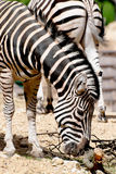 Chapmans zebra (Equus quagga chapmani). Living in a zoo Stock Image