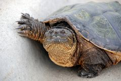 chapnąć żółw Zdjęcia Royalty Free