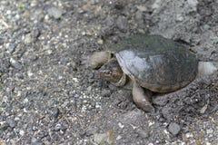 Chapnąć żółw Zdjęcie Stock