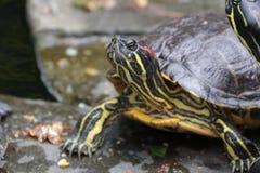 Chapnąć żółw cieszy się słońce obrazy royalty free