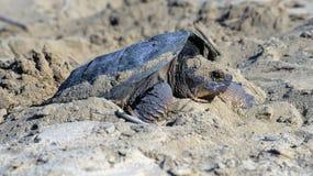 chapnąć żeński żółw zdjęcia royalty free