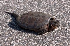 chapnąć duży żółw Fotografia Royalty Free