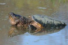 chapnąć pospolity żółw Fotografia Royalty Free