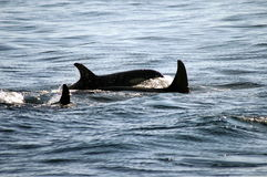 Chapoteo de la orca Fotos de archivo