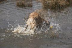 Chapoteo del agua por el perro que salta adentro Imagen de archivo libre de regalías
