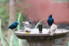 Chapoteo del baño del pájaro Imágenes de archivo libres de regalías