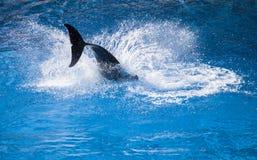 Chapoteo del delfín fotos de archivo