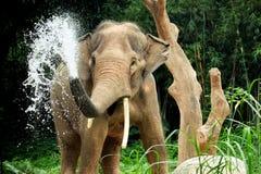 Chapoteo del elefante Imagen de archivo