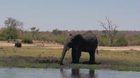 Chapoteo del fango del elefante africano almacen de video
