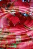 Chapoteo rojo de las hojas de otoño fotos de archivo libres de regalías
