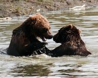 Chapoteo y juego de los osos de Brown Fotografía de archivo