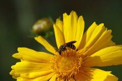 Chaqueta amarilla en una flor salvaje amarilla Foto de archivo