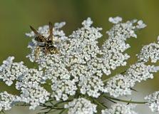 Chaqueta amarilla que recoge el polen Imagenes de archivo