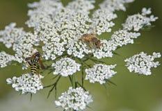 Chaqueta amarilla y abeja que recogen el polen Fotografía de archivo