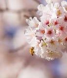 Chaqueta amarilla y flor de cerezo Fotografía de archivo libre de regalías